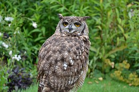 brown-owl-1208041__180