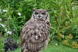 brown-owl-1208041__180